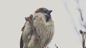Bruine muszitting op de takboom van de aardvogel stock video