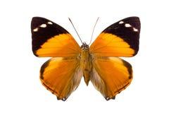 Bruine Nymphalidae-vlinder Royalty-vrije Stock Foto