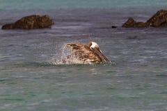 Bruine occidentalisurinator van Pelikaanpelecanus, de ondersoorten van de Galapagos, die dichtbij het Noorden Seymour Island bade stock foto's