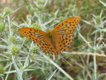 Bruine/oranje vlinder op distel Stock Afbeelding