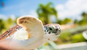 Bruine overzeese schildpad in lucht Royalty-vrije Stock Fotografie