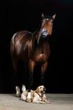 Bruine paard en hond op de zwarte achtergrond Royalty-vrije Stock Foto