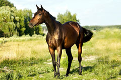 Bruine paard status stock foto