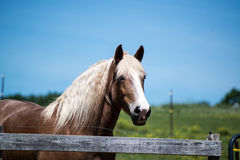 Bruine paard witte manen bij boerderij Royalty-vrije Stock Fotografie