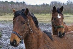 Bruine Paarden Royalty-vrije Stock Afbeeldingen
