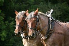 Bruine paarden stock foto
