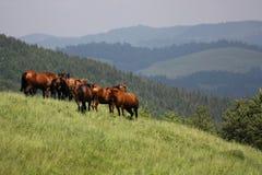 Bruine paarden in de bergen Stock Foto's