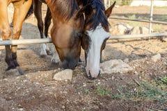 Bruine paarden die gras weiden royalty-vrije stock foto's