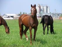 Bruine paarden die niet verre van het landbouwbedrijf weiden Royalty-vrije Stock Foto's