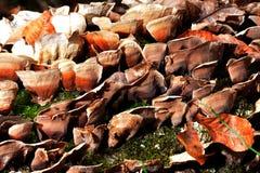 Bruine Paddestoel Royalty-vrije Stock Afbeeldingen