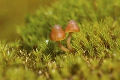 Bruine paddestoelen die onder mos in de Zuidpool groeien Royalty-vrije Stock Foto