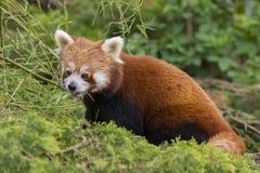 Bruine Panda Stock Foto's