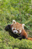 Bruine Panda Royalty-vrije Stock Foto's