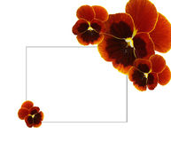 Bruine pansies Royalty-vrije Stock Fotografie
