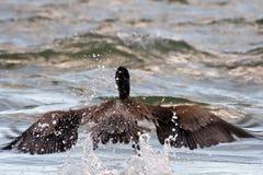 Bruine pelikaan Stock Foto