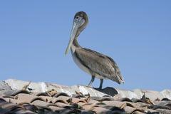 Bruine pelikaan. Stock Foto's