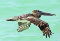Bruine Pelikaan, Brown pelikan, Pelecanus occidentalis obrazy royalty free