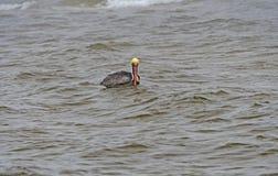 Bruine Pelikaan die op een Oceaankust drijven Stock Fotografie