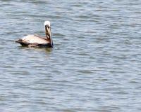 Bruine Pelikaan die op het water zwemmen stock afbeelding