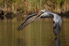 Bruine Pelikaan die vlucht op een rivier van Florida nemen stock foto