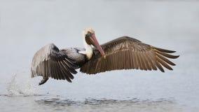 Bruine Pelikaan die vlucht van een lagune nemen - Fort DE Soto Park, F Stock Afbeelding
