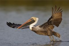 Bruine Pelikaan die vlucht van een lagune nemen - Fort DE Soto Park, F Stock Foto