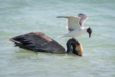 Bruine pelikaan en sandwichstern Stock Foto's
