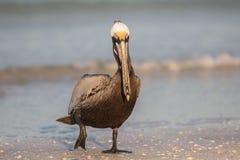 Bruine pelikaan, Estero-Lagune, Florida stock foto's