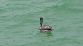 Bruine pelikaan in Florida, stock video