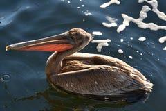Bruine pelikaan gevonden it& x27; s manier aan de oceaanwinter van de staat royalty-vrije stock foto's