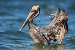 Bruine pelikaan met open vleugels, Estero-Lagune, Royalty-vrije Stock Foto