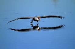 Bruine pelikaan op meer Royalty-vrije Stock Afbeeldingen