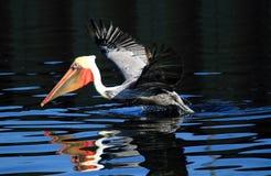 Bruine pelikaan op meer Royalty-vrije Stock Afbeelding
