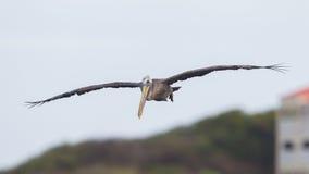 Bruine pelikaan (Pelecanus-occidentalis) Stock Afbeeldingen