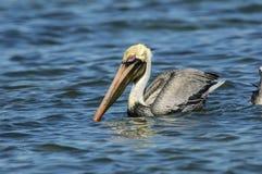Bruine Pelikaan, (Pelecanus-occidentals) zwemmend Royalty-vrije Stock Afbeelding