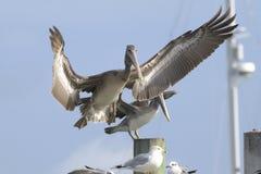 Bruine pelikaan, pelecanusoccidentalis Royalty-vrije Stock Afbeelding