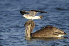 Bruine pelikaan, pelecanusoccidentalis Stock Afbeeldingen