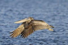 Bruine pelikaan, pelecanusoccidentalis Stock Foto