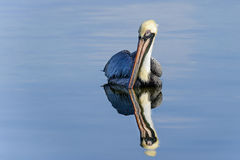Bruine pelikaan, pelecanusoccidentalis Royalty-vrije Stock Afbeeldingen