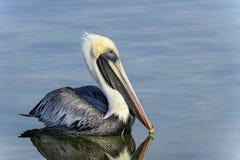 Bruine pelikaan, pelecanusoccidentalis Stock Fotografie