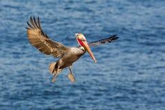 Bruine pelikaan tijdens de vlucht Royalty-vrije Stock Foto