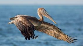 Bruine pelikaan tijdens de vlucht, Estero-Lagune, Stock Foto's
