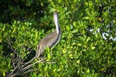 Bruine pelikaanzitting op de boom Royalty-vrije Stock Foto's
