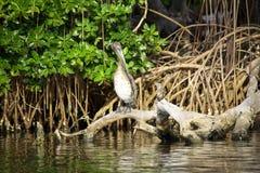 Bruine pelikaanzitting op de wortels Stock Foto's