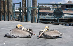Bruine Pelikanen stock afbeeldingen