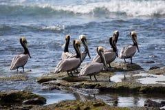 Bruine pelikanen in Costa Rica Royalty-vrije Stock Afbeeldingen