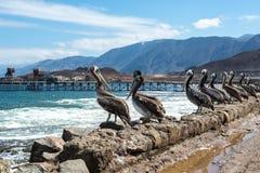 Bruine pelikanen in de oude pijler van Taltal (Chili) stock afbeeldingen