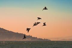 Bruine Pelikanen die over Vreedzame Oceaan in San Francisco Bay met heuvels en Baaibrug op achtergrond bij zonsondergang vliegen Royalty-vrije Stock Afbeeldingen