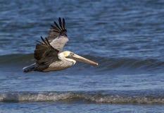 Bruine pelikanen die (Pelecanus-occidentalis) langs de oceaankust vliegen, royalty-vrije stock afbeeldingen