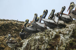 Bruine pelikanen, Eiland Balestas, Peru Royalty-vrije Stock Fotografie
